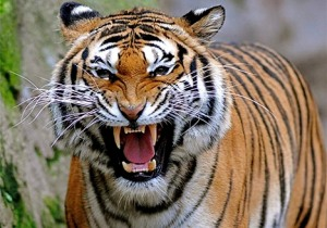 The tiger in my mind...beautiful and freaking scary.